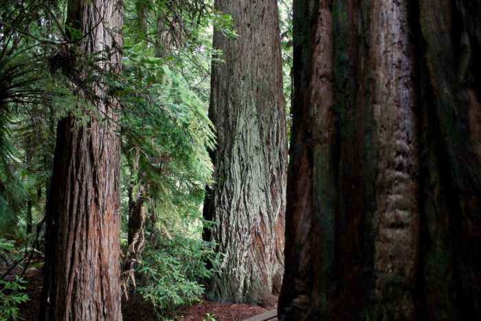 Large coast redwood trees, one in the shadowy figure in the foreground