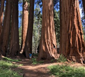 Picture of giant sequoia grove in Sequoia National Park.
