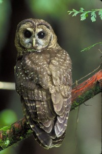 The spotted owl is another irreplaceable redwoods inhabitant. Photo courtesy of the U.S. Fish and Wildlife Service.