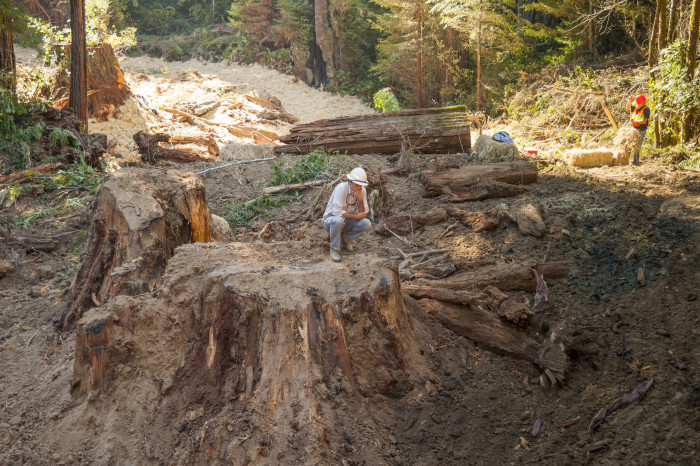 BLM Geologist Sam Flanagan surveys work from the stump of a giant redwood that was logged before Headwaters was protected as a Reserve. The stump had been covered with road fill before road decommissioning.