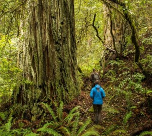 Your gifts are helping to decommission former logging roads and plant redwoods in Headwaters Forest Reserve. One day, the restored areas will resemble ancient redwood groves like this one at the reserve. Photo by Humboldt State University