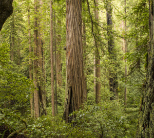 Headwaters Forest Reserve. Photo courtesy Humboldt State University