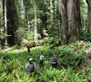 RCCI scientists study the impact of climate change on the redwood forest.