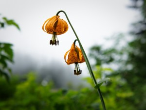 A wild tiger lily. Photo by BlueBrightly, Flickr Creative Commons.