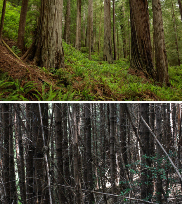 Comparison between a young heavily reseeded forest and an old-growth forest.
