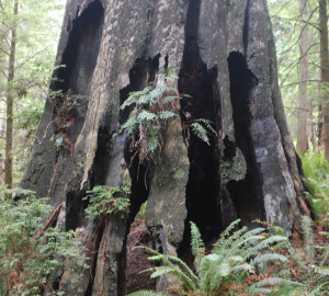Monster tree. Photo courtesy of Redwoods.info