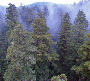 Fog in the redwood canopy. Photo by Stephen Sillett, Institute for Redwood Ecology, Humboldt State University