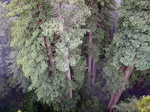 From the top of the canopy looking down. Photo by Stephen Sillett, Institute for Redwood Ecology, Humboldt State University