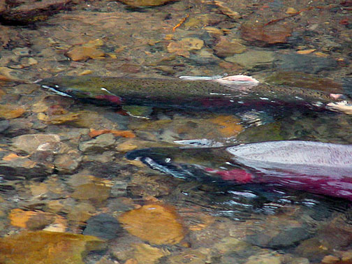 Spawning coho salmon. Photo by Zach Larson