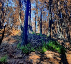Modern fire in ancient forests, Dec. 10 at noon PST